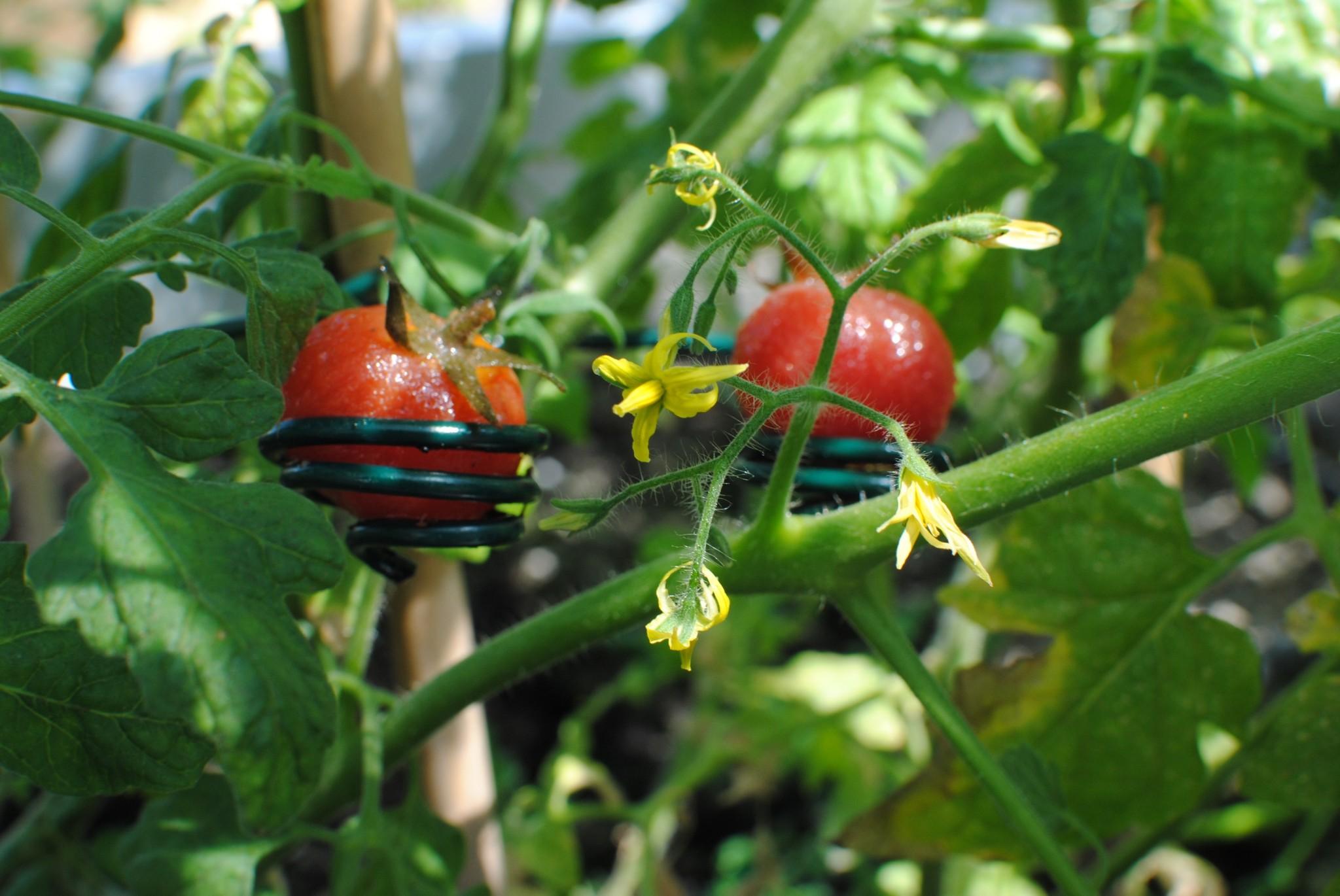 Tomates4_azurmendi